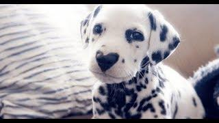"""Woman Posts Photo Of Her Dalmatian Puppy And People Are In """"Love"""" With His Nose"""